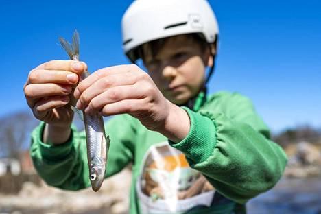 Juho Paju kalasti haavilla kuoretta eli norssia sunnuntaina Salossa.