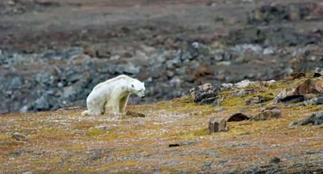 Nälkään nääntyvä jääkarhu oli jäänyt sulalle maalle eikä ollut löytänyt ruokaa ilmeisen pitkään aikaan. Kuvakaappaus National Geographicin videosta.