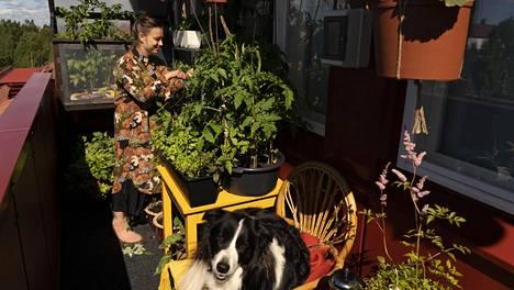 Allu-koira nauttii Oulun kesästä. Ennen parvekkeella ei mahtunut kunnolla viettämään aikaa. Sirja Eskelinen sai viime viikolla pari tuolia ja pöydän.