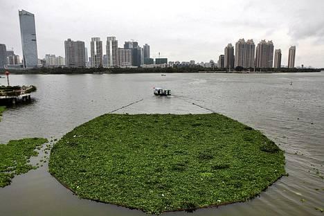 Vene veti keskiviikkona pois pintaan nousseita kasveja puhdistaessaan Xizhi-joen pintaa Huizhoussa Kiinassa.