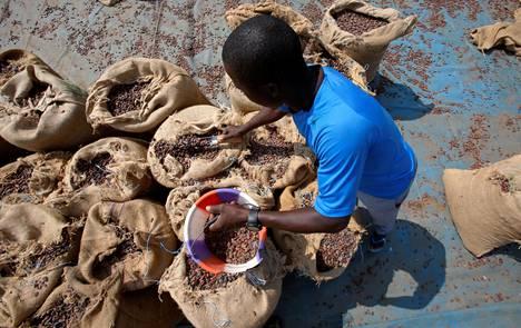 Mies laittoi kaakaopapuja säkkeihin Norsunluurannikolla heinäkuussa 2018.