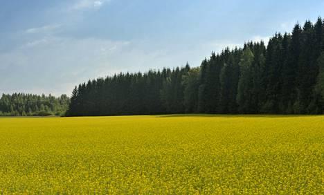 Rypsistä voidaan valmistaa paitsi ruokaöljyä myös polttoainetta. Kuvassa rypsiä Turengissa.