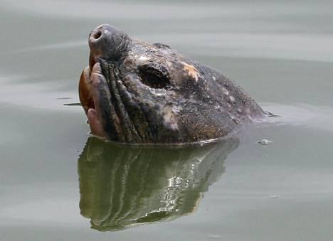 Hanoin Hoan Kiem -järven pyhä kilpikonna vuonna 2011.