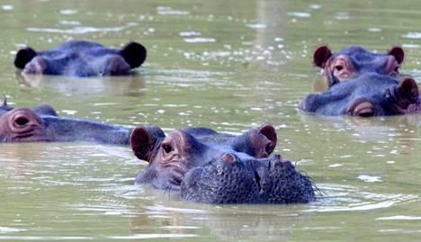 Virtahepoja uimassa Pablo Escobarin kartanon lähijärvessä.