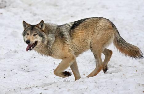 Susi on Suomessa rauhoitettu muualla kuin poronhoitoalueella, jossa sutta metsästetään vahinkoperusteisilla poikkeusluvilla. Muualla luvan voi saada häirikkösudelle. Kuvan susi on Ranuan eläinpuistosta.