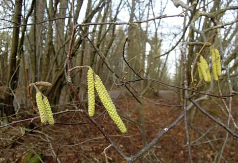 Allergikoille oireita aiheuttava pähkinäpensas on jo alkanut kukkia Etelä-Suomessa. Leudon talven takia siitepölykausi alkoi tänä vuonna poikkeuksellisen aikaisin.
