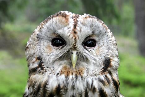 Etelässä pöllöillä on tällä hetkellä niukasti ravintoa. Kuvassa on lehtopöllö.