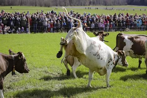 Viikin koetilan lehmät pääsivät jälleen kevätlaitumelle tänään lauantaina.