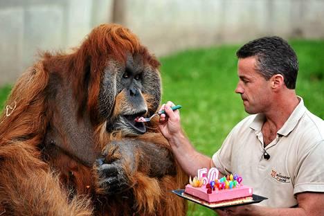Eläintarhan johtaja Sebastien Laurent syöttää Major-orangille syntymäpäiväkakkua La Boissiere-du-Doreen eläintarhassa Ranskassa.