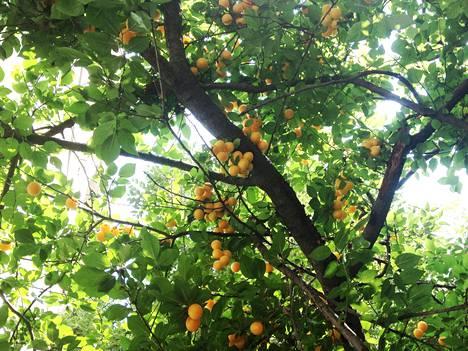 Katujen ylle kaartuvia hedelmäpuita, kaupunkiviljelyä parhaimmillaan