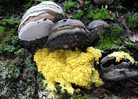 Paranvoi-limasieni on ryöminyt taulakäävän alle. Limasieni ilmeisesti syö käävän karistamia sieni-itiöitä.