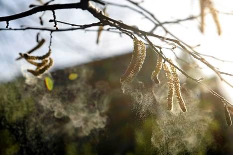 Tutkijoiden mukaan siitepölyallergiasta kärsivät pääsevät tänä vuonna viime kevättä helpommalla.