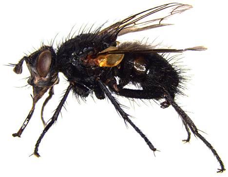 Loiskärpänen Linnaemya bergstroem on tieteelle uusi laji.