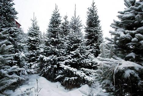 Kuopion kaupunki kehottaa olemaan menemättä kuusenhakuun kaupungin metsiin tai kuusiviljelmille. Kuvan kuusiviljelmä Lohjalta.