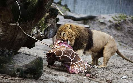 Kööpenhaminan eläintarhan 1,5-vuotias kirahvi lopetettiin ja syötettiin leijonille.