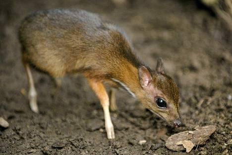 Jaavankääpiökauris Fuengirolan Bioparkissa Malagan lähistöllä.
