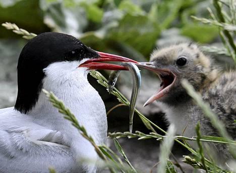 Lapintiira ruokki poikastaan.