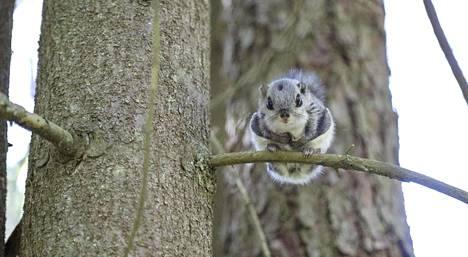 Liito-orava on luokiteltu Suomessa vaarantuneeksi lajiksi. Liito-oravan poikanen kuvattiin kesällä Varsinais-Suomessa.