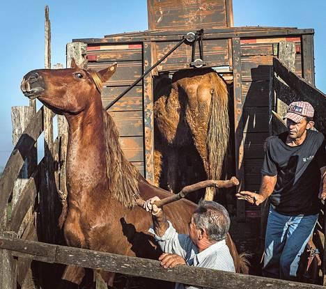 Anisió ja Celso Ferreira (oik.) lastaavat hevosia teurasauton kyytiin. Eläimiä pakotetaan sisään lyömällä.