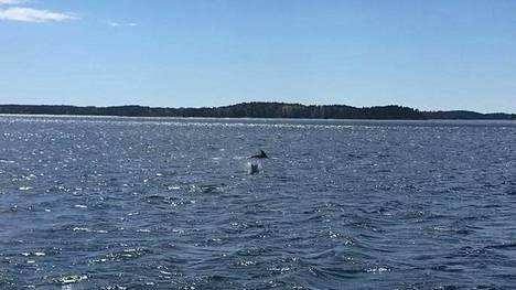 Kemiönsaaren Taalintehtaan edustalla havaittiin keskiviikona iltapäivällä delfiinejä. Kuvat ovat havainnon tekijän ottamia.