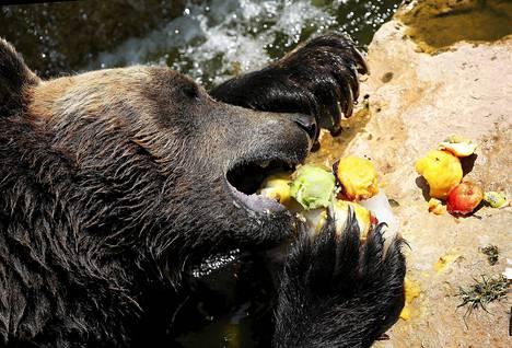 Karhut viilentävät oloaan syömällä jäädytettyjä hedelmiä Rooman eläintarhassa.