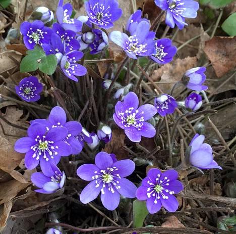 Sinivuokot kukkivat Espoon Karakalliossa tiistaina 24. maaliskuuta.
