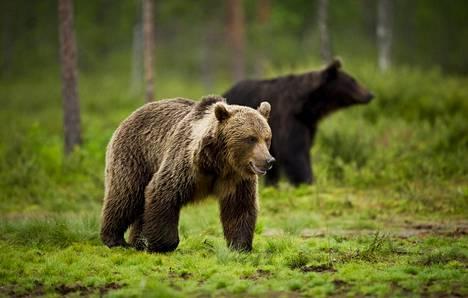 Tietääkö karhu että se on karhu, on HS:n tiedesivuilla kysytty.