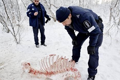 Enontekiön poliisit Jari Kaipainen (oik.) ja Olavi Airaksinen tutkivat salametsästäjän ampumaa hirveä arkistokuvassa vuodelta 2012. Enontekiön poliisiasema lopetettiin viime vuonna.