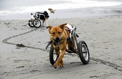 Pelusa ja Pecas, kaksi raajoistaan halvaantunutta koiraa, on saanut avukseen pyörätuolit. Limassa, Perun pääkaupungissa, sijaitseva koirien suojakoti auttaa kulkukoiria, jotka kaipaavat suojaa tai ovat loukkaantuneet esimerkiksi liikenneonnettomuuuksissa.