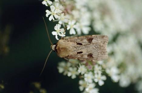 Britanniassa tehdyssä seurannassa yöperhosten määrä on pudonnut jyrkästi 1960-luvulta näihin päiviin. Kuvassa on huutomerkkiyökkönen.