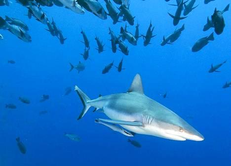 Tiikerihai ui haiden rauhoitusalueella Palaulla.