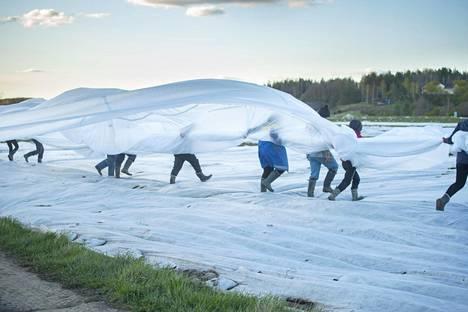 Harsojen levitystä mansikkapelloille. HS seurasi kausityöläisten työtä.