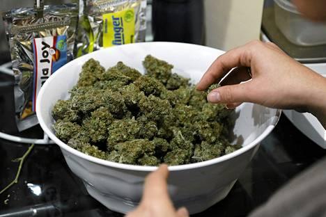 Työntekijä valmisti marijuanaa myyntikuntoon Northglennissä Coloradossa viime joulukuussa.