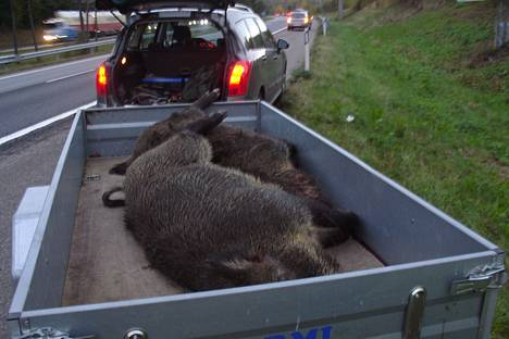 Kaksi 130-kiloista villisikaa jäi auton alle Lahdenväylällä syyskuun lopussa.