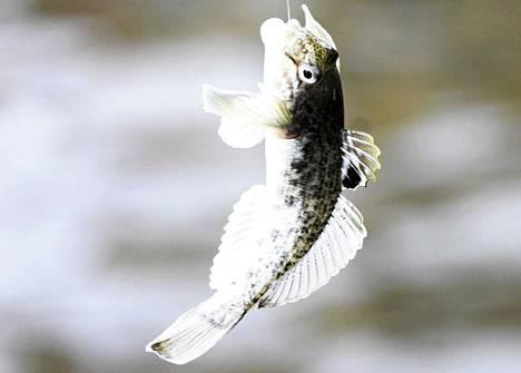Mustatäplätokko tavattiin ensi kertaa Suomen merialueella vuonna 2005.