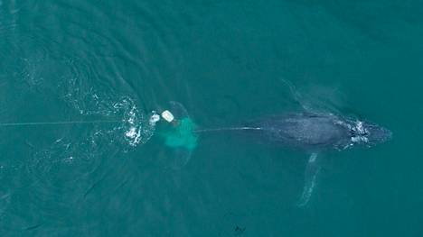 Humpback whale stocks have recently strengthened.  However, this individual, swimming in Mexican waters, was stuck in a fishing net.