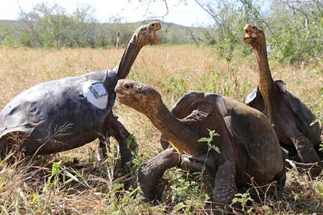 Galápagoksenjättiläiskilpikonnat elävät nimensä mukaisesti vain Galápagossaarilla. Ne on jaettu noin viiteentoista alalajiin, joista kuvassa on yksi pienimmästä (chelonoidis hoodensis).