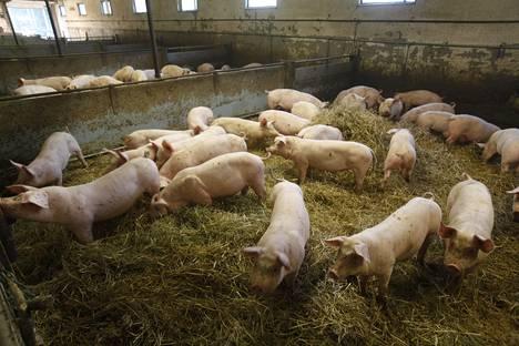 Paijan tilan aitoja sikoja Urjalassa.