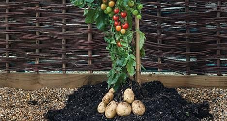 Tomaattiperuna