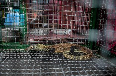 Nuori komodonvaraani takavarikoitiin poliisioperaation yhteydessä. Eläin oli näytillä poliisin järjestämässä tiedotustilaisuudessa, jossa kerrottiin salakuljettajiksi epäiltyjen henkilöiden pidätyksestä.
