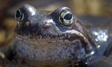 Täyskasvuisten sammakoiden lisäksi niiden toukat eli nuijapäät ovat muiden eläimien herkkua. Kuvassa on ruskosammakko, Suomen yleisin sammakkoeläin.