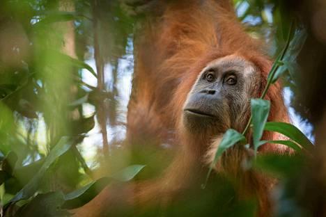 Löydetyn orankilajin edustaja elinympäristössään Sumatran viidakossa.