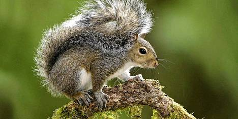 Harmaaorava on hieman euraasialaista oravaa kookkaampi.