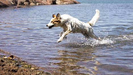 Koirien uimarannalla lemmikit pääsevät polskimaan sydämensä kyllyydestä. Kuva Rajasaaren uimarannalta.