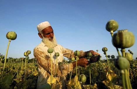 Mies työkenteli unikkoviljelmällä Afganistanissa toukokuun alussa.