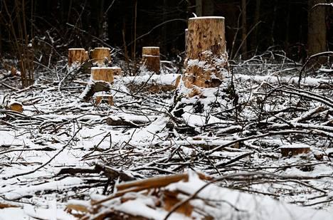 Maailmanperintökohteeksi luokiteltua Białowiesan metsää on kaadettu EU-lainsäädännön vastaisesti. Kuva helmikuulta Białowiesan kylästä Puolasta.