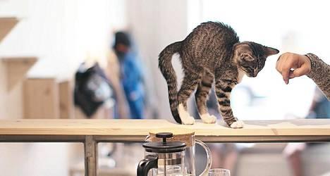 Kissakahvilassa järjestetään pian sinkkuiltoja ihmisille.