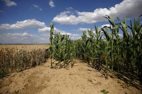 Kuivuudesta kärsivä maissi- ja vehnäpelto Oisy le Vergerissä Pohjois-Ranskassa heinäkuussa 2015.
