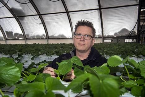 Suomen suurimmalle puutarhaviljelijälle Puutarha Tahvoset Oy:lle Pohjankuruun piti tulla ensi viikolla 20–30 ulkomaalaisia, heillä oli työ- ja oleskeluluvat valmiina ja lentoliput ostettuna. Tuskin pääsevät arvioi toimitusjohtaja Tomi Tahvonen mansikkaviljelmien keskellä. Tahvosen mielestä myös suomalaisia pitäisi velvoittaa kausitöihin.