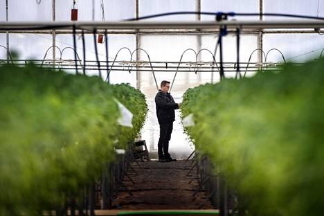 Puutarha Tahvoset myy muun muassa Korona-nimistä mansikkalajiketta.